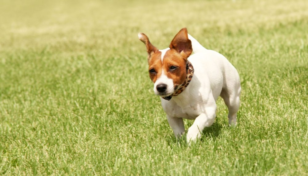 running jack russell animal wellness world